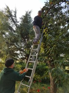 Ade and John picking persimmons.